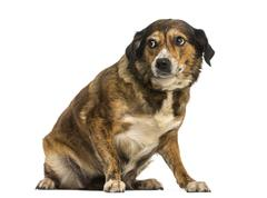Crossbreed dog sitting, looking intimidated, isolated on white - stock photo