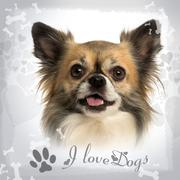 Close-up of a Chihuahua panting on a fancy background - stock photo