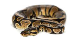 Royal python, Python regius, isolated on white - stock photo
