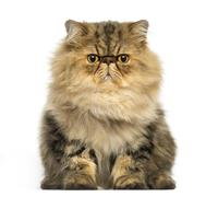 Front view of a grumpy Persian cat facing, looking at the camera, isolated on wh - stock photo