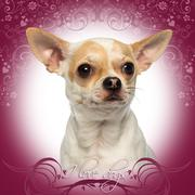 Close-up of a Chihuahua looking away, on a pink fancy background Stock Photos