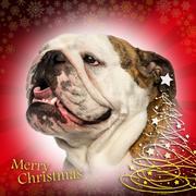 Close-up of an English bulldog panting, on a christmas background Stock Photos
