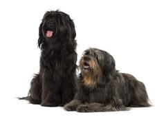 Couple of Catalan sheepdogs being together, panting, isolated on white Stock Photos