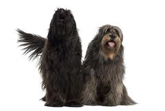 Couple of Catalan sheepdogs together barking and panting, isolated on white - stock photo