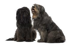 Couple of Catalan sheepdogs sitting together, panting, isolated on white - stock photo