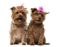 Two Yorkshire Terrier wearing bows, panting, sitting, isolated on white Stock Photos