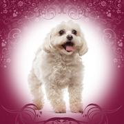 Maltese standing, panting, on a designed background Stock Photos