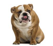 English Bulldog sitting, licking, 1 year old, isolated on white - stock photo