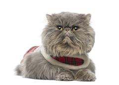 Persian cat wearing a tartan harness, lying, looking away, isolated on white Stock Photos