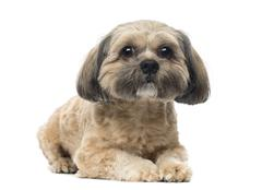 Shih Tzu lying down, looking at the camera, 1 year old, isolated on white Stock Photos