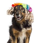 Close-up of Border collie wearing a blond wig with floral crown, isolated on whi - stock photo
