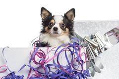 Close-up of a Chihuahua in a present box, isolated on white Stock Photos