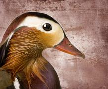 Mandarin duck in front of a Brown - stock photo