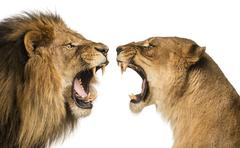 Close-up of a Lion and Lioness roaring at each other - stock photo
