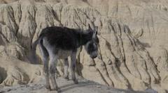 Donkeys and moonland landscape,Lamayuru,Ladakh,India Stock Footage