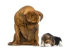 Dogue de Bordeaux sitting and looking at a embarrassed Beagle puppy - stock photo