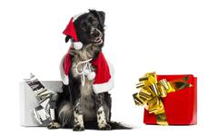 Border Collie wearing Christmas clothes and sitting next to presents - stock photo