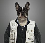 French bulldog wearing work clothes, grey background - stock photo