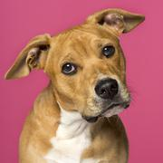 close-up of a American Staffordshire Terrier (5 months old) - stock photo