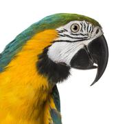 Close-up of a Blue-and-yellow Macaw, isolated on white Stock Photos