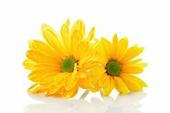 Yellow asters - stock photo