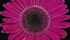 Time-lapse of opening pink gerbera flower in RGB + ALPHA matte format Stock Footage