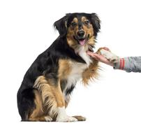 Border Collie giving his paw (2 years old) - stock photo