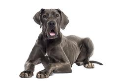 Great Dane lying down (8 months old) Stock Photos