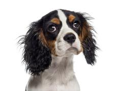 Headshot of a Cavalier King Charles Spaniel puppy (19 weeks old) Stock Photos