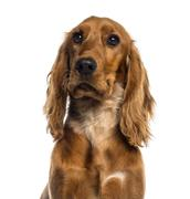 Headshot of a English Cocker Spaniel (7 months old) - stock photo