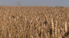 Ripe wheat plant crop ears move in wind. Forward sliding Stock Footage