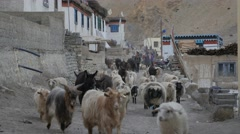 Cattle going their homes,Kibber,Spiti,India Stock Footage