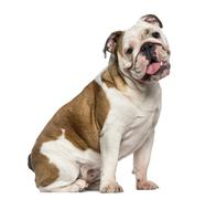English Bulldog sitting (8 months old) - stock photo