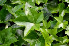Detail hedge - green leaves background Stock Photos
