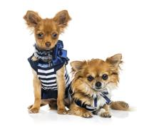 Tow dressed Chihuahuas (2 years old) Stock Photos