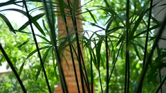 Papyrus Green Plant Stock Footage