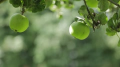 Cooking apple being picked off tree Stock Footage