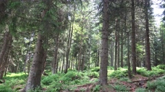 4k Sunny blueberry and pine tree forest panning Harz Stock Footage