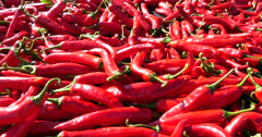 Fresh chili peppers for dry in a farm - stock footage