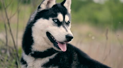 Siberian Black Husky Outside Playing  Nature Stock Footage