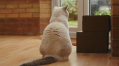 Beautiful cat reacts to birds outside conservatory 4K Stock Footage