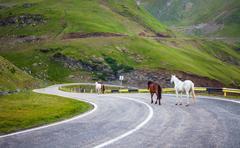 White and brown horses walking on Transfagarasan highway in Romania Stock Photos