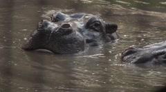 Hippopotamus  in the river Asia Stock Footage