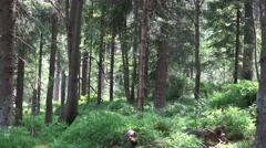 4k Sunny blueberry and pine tree forest close up Harz Stock Footage