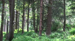 4k Sunny blueberry and pine tree forest zoom out Harz Stock Footage