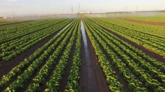 Irrigation plant watering a salad field Stock Footage