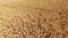 Aerial - grain field in summer Stock Footage