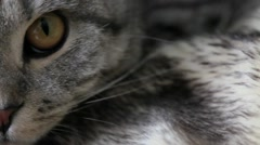 Scottish Fold cat with wide eyes watching Stock Footage