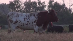 Free bulls in the national park of the Camargue in France - stock footage