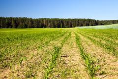 grow corn - stock photo